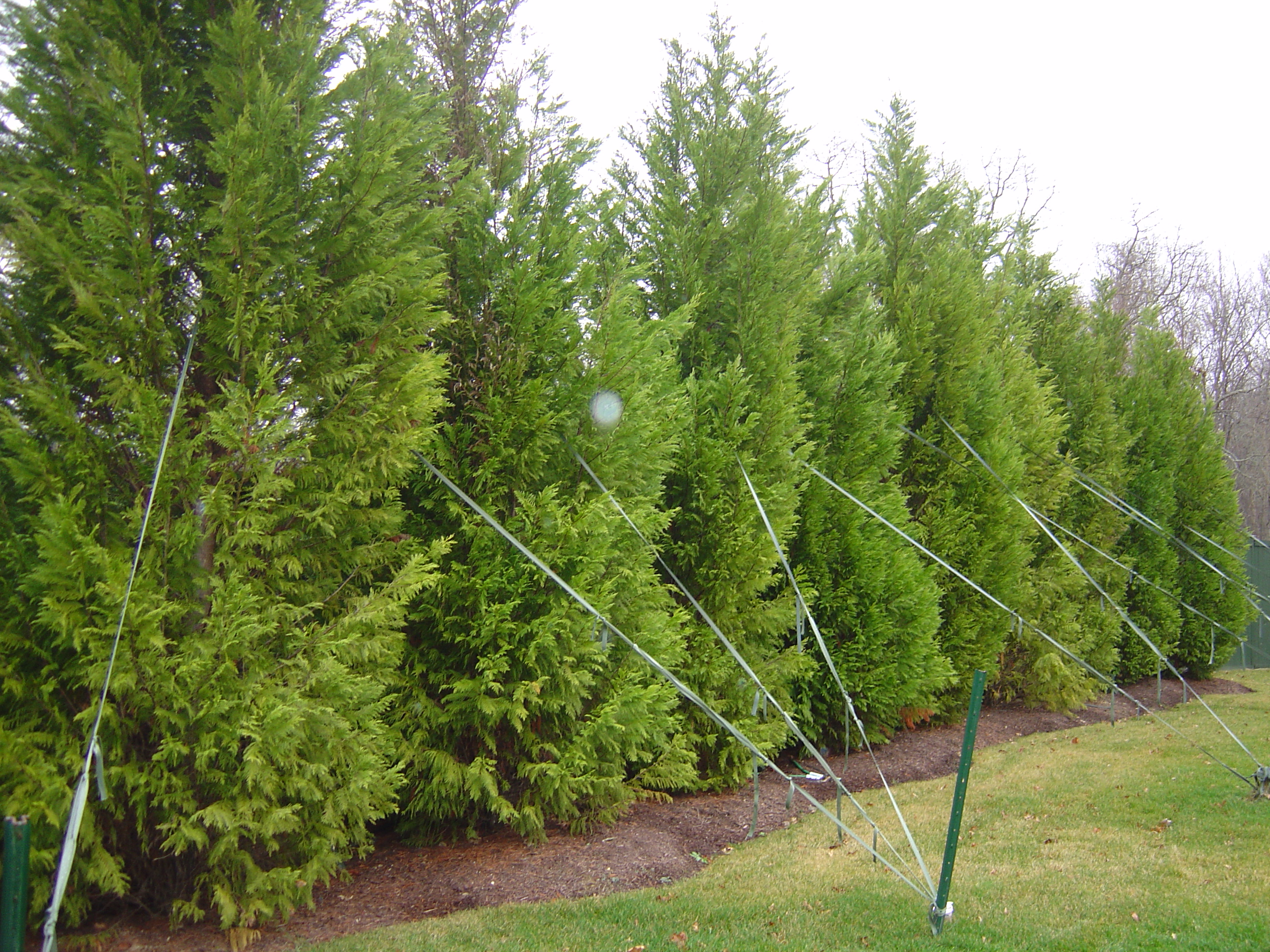 LeyLand Cypress well staked.jpg