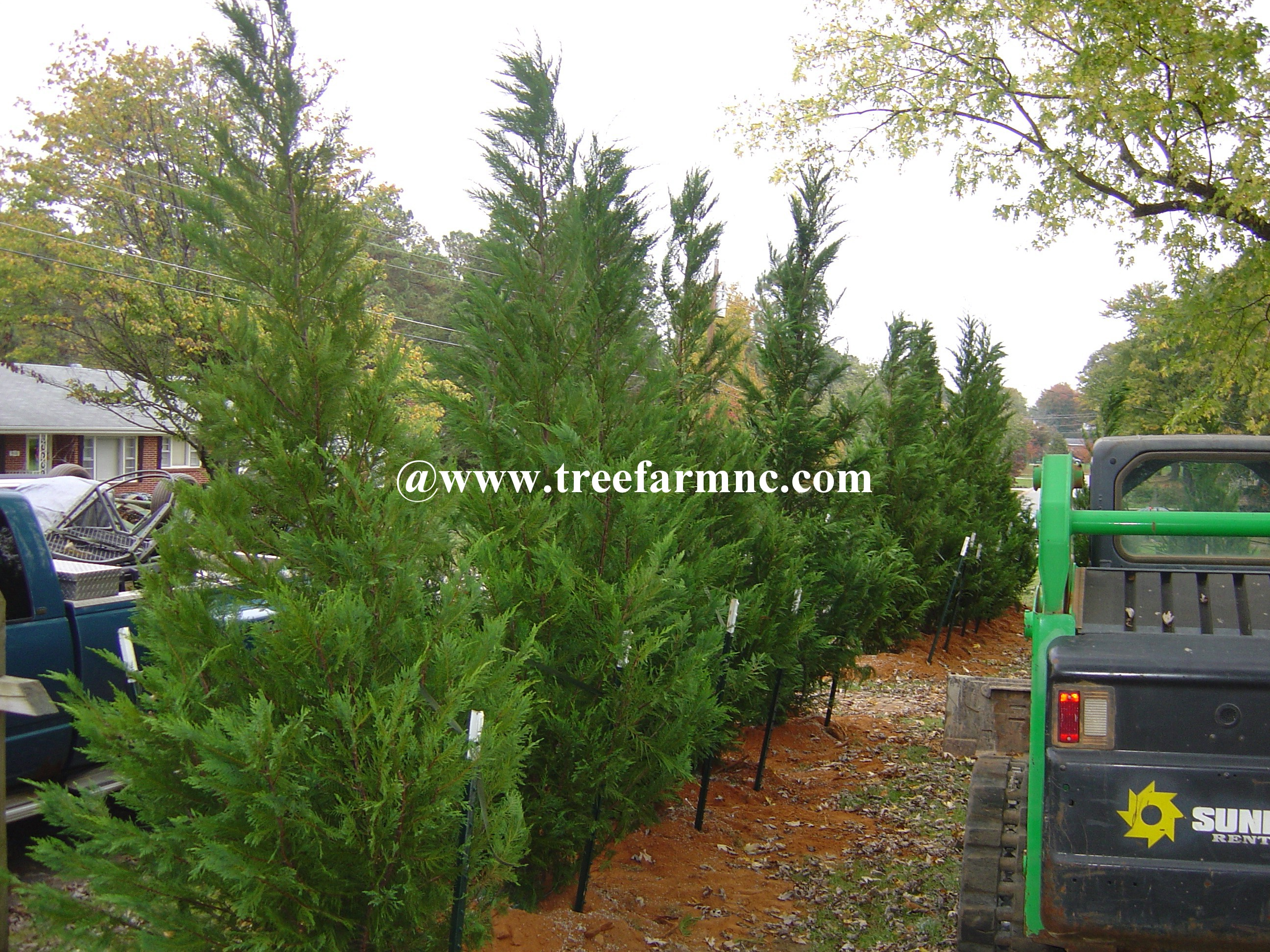 Leyland Cypress hedgerow 4 foot center